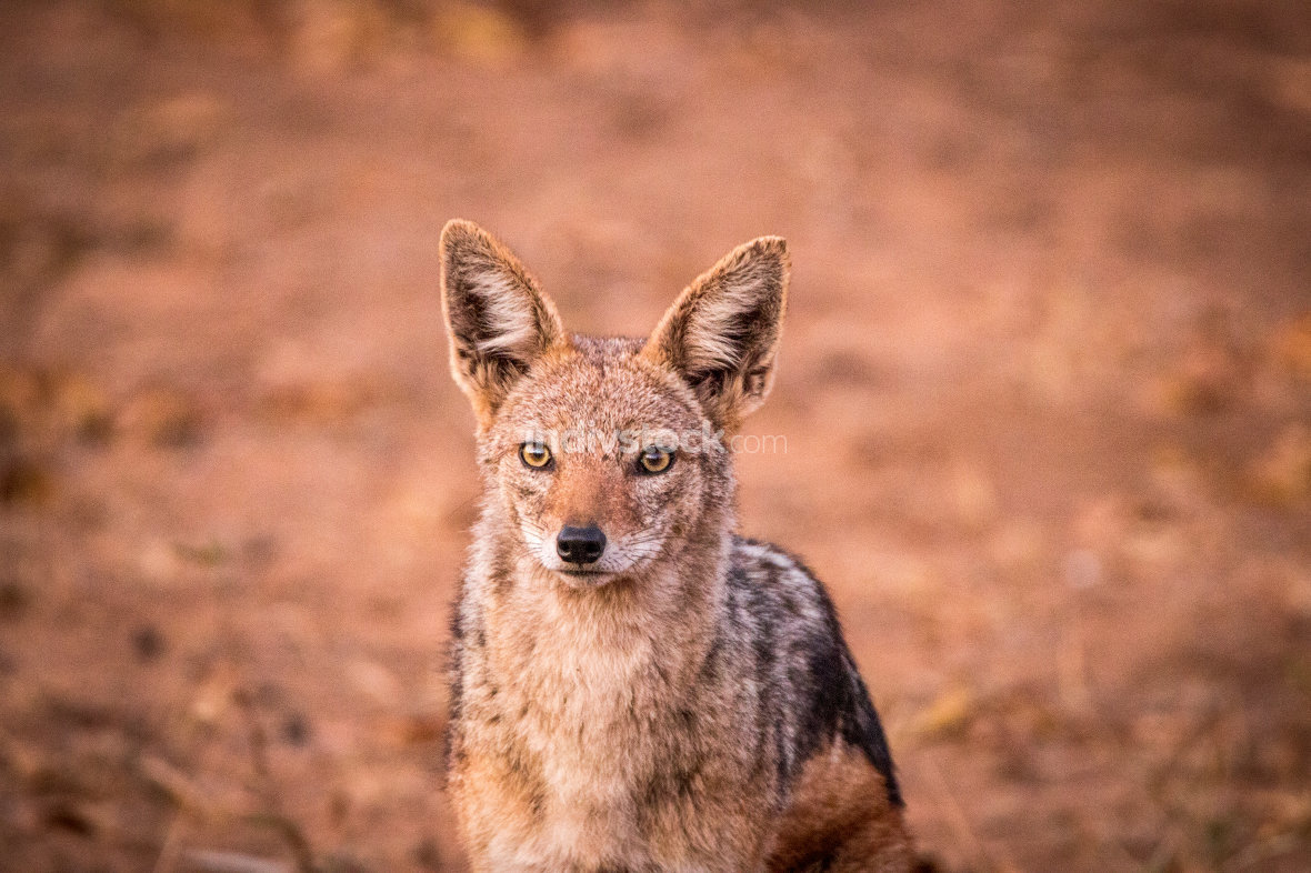 Black-backed Jackal in the Kruger National Park, South Africa.