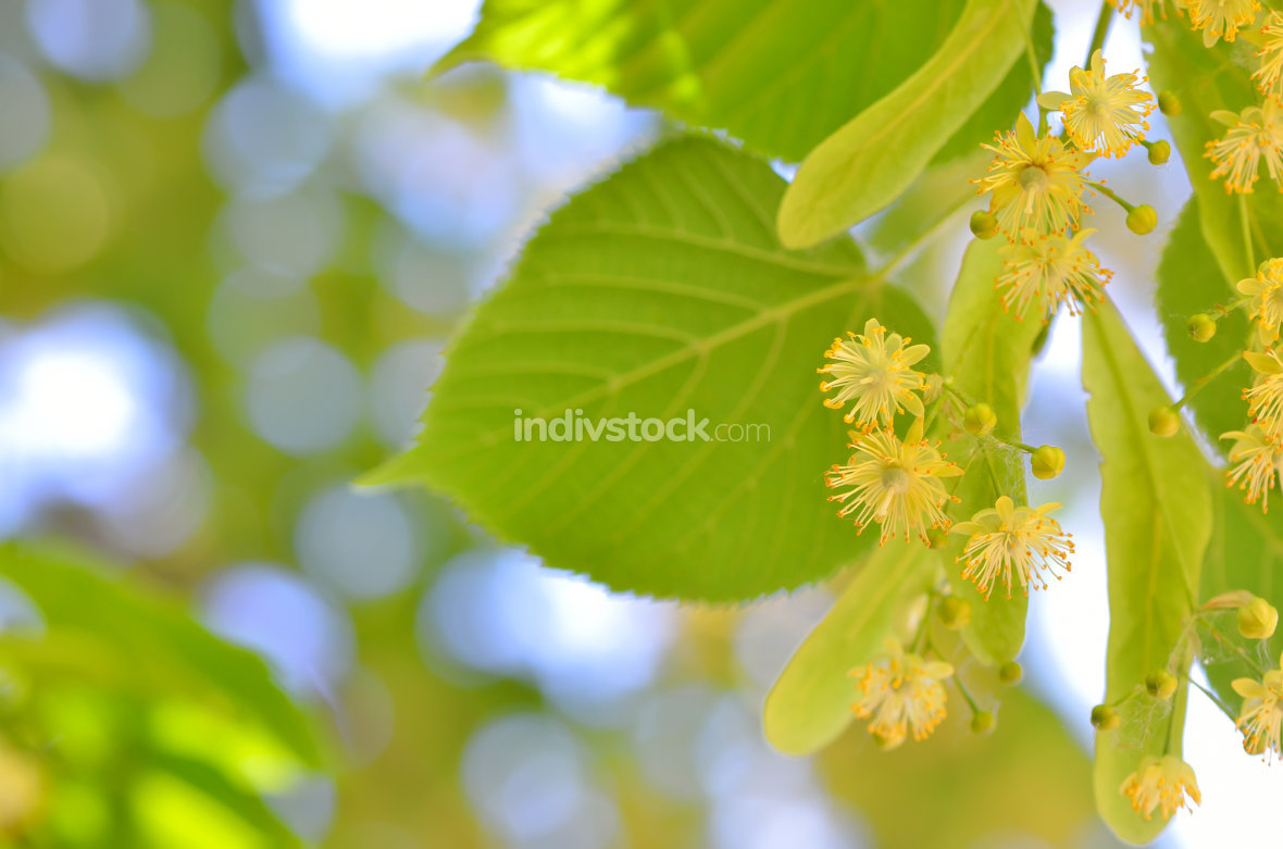 Blooming linden