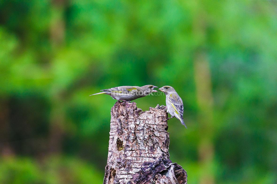 Blue Tit Bird sitting on a stump