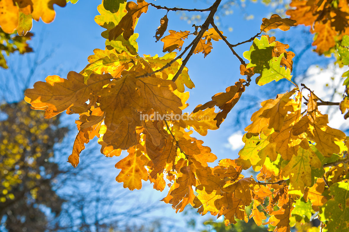 branch of oak tree with yellow leaves