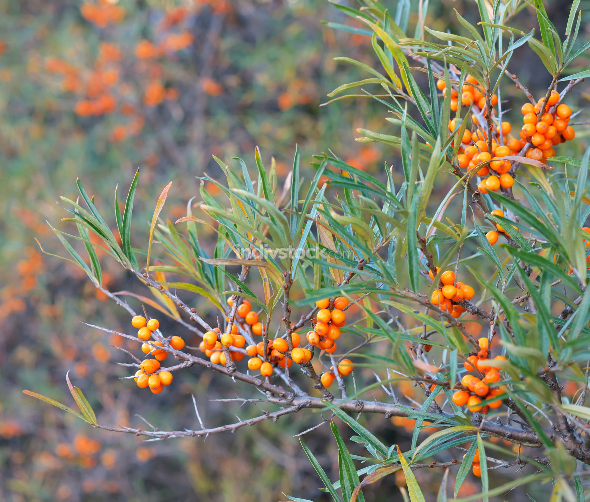 Branch with berries of sea buckthorn