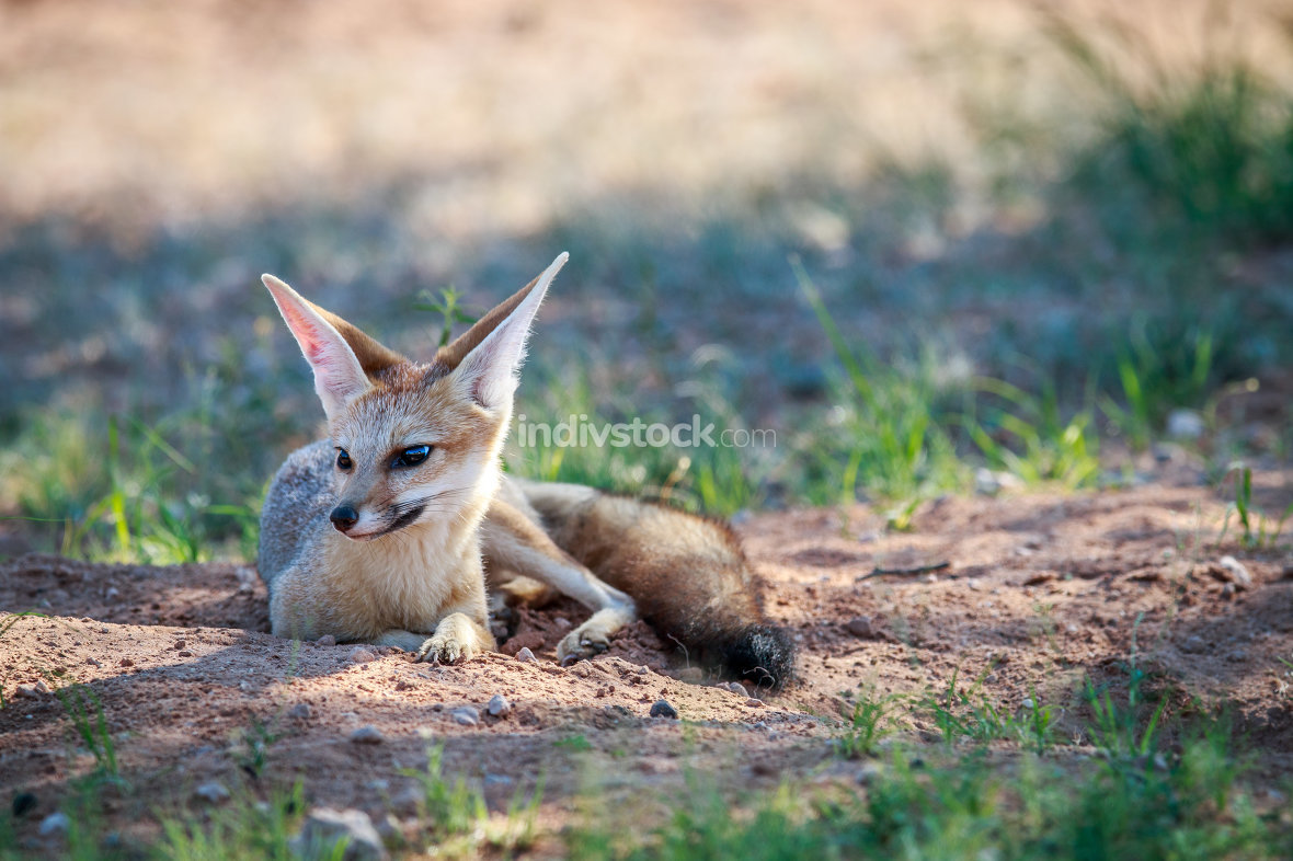 Cape fox laying in the sand.