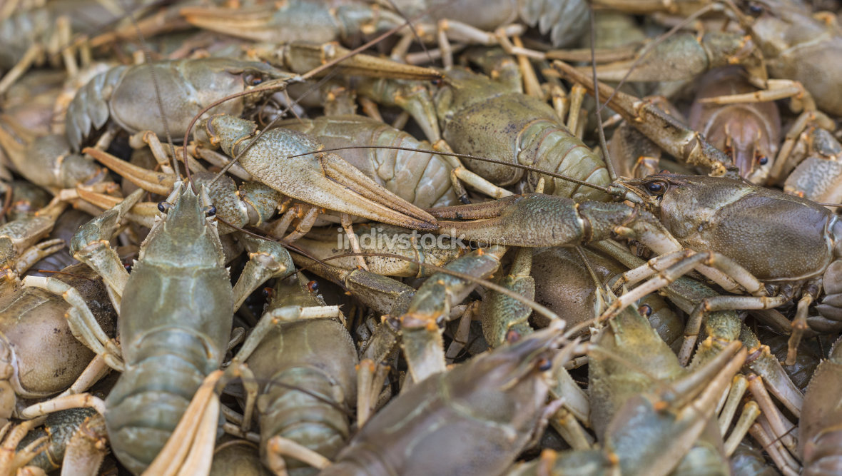 Crawfish. Cancer. Cooked crabs for food