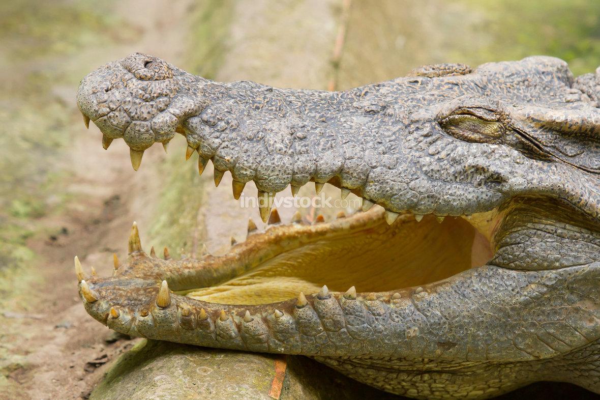 Crocodile resting in the sun