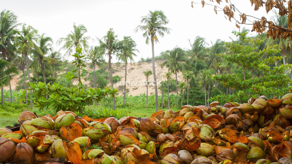 Disposed coconut husks on the ground
