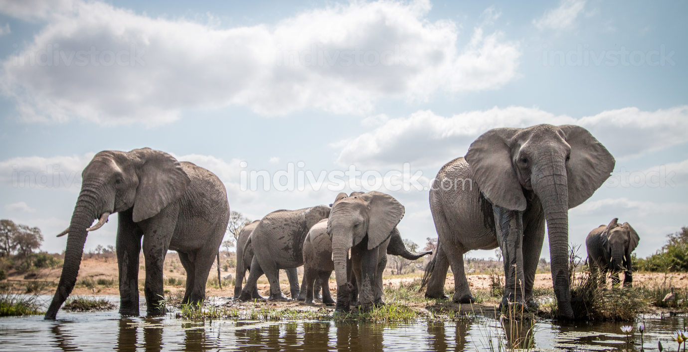 Indivstock lizenzfreies Stockfoto: Drinking herd of Elephants.