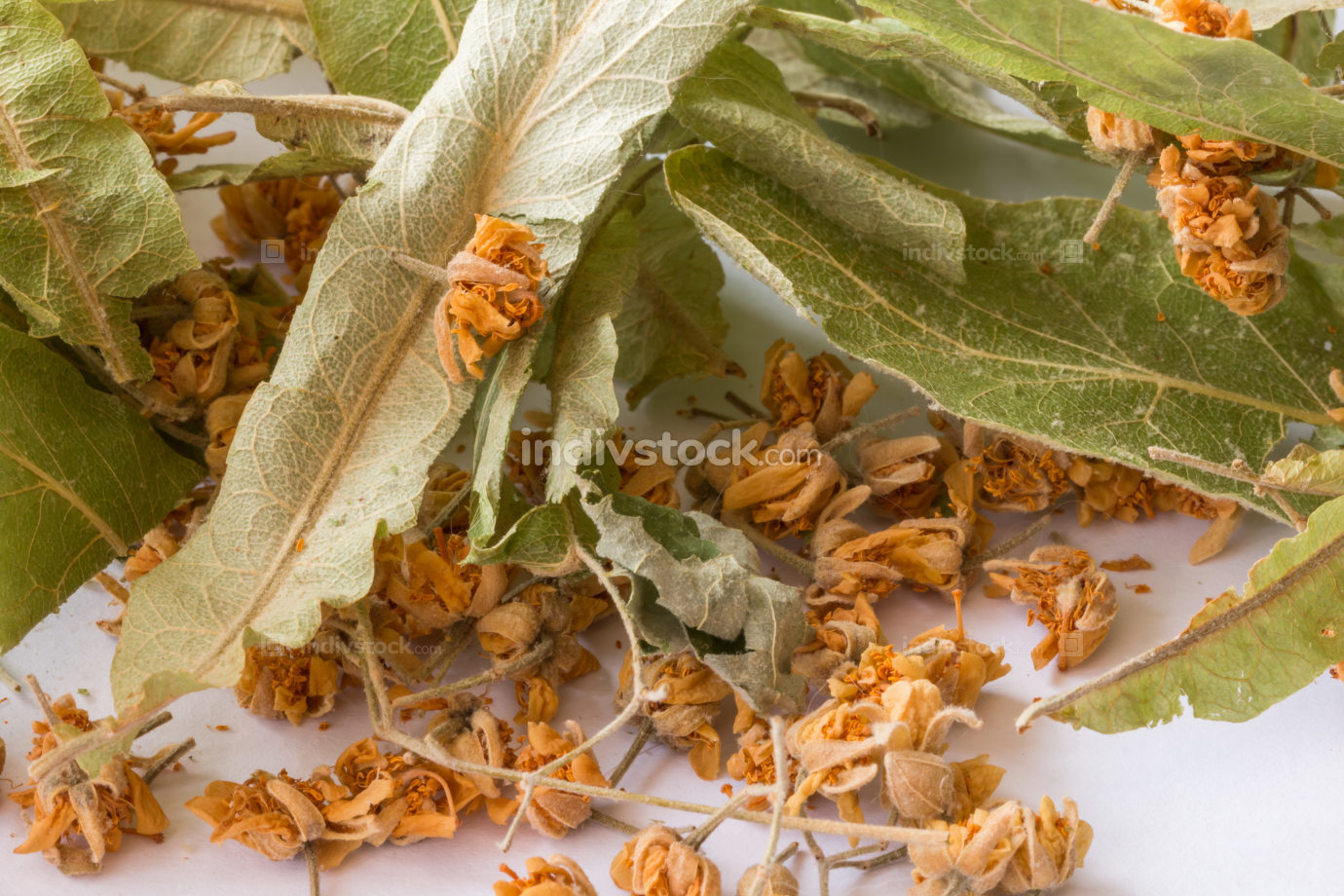 Dry linden flowers on white background