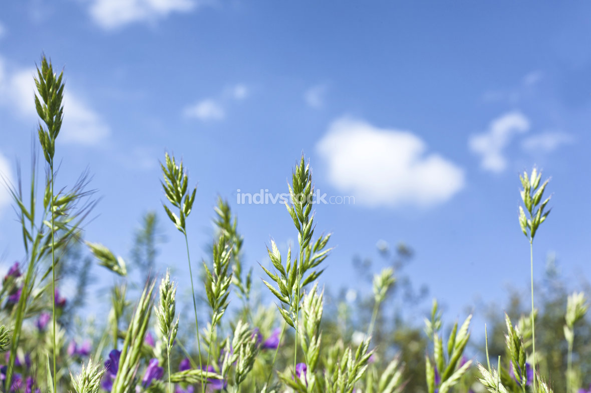 Field of wild plants against blue sky