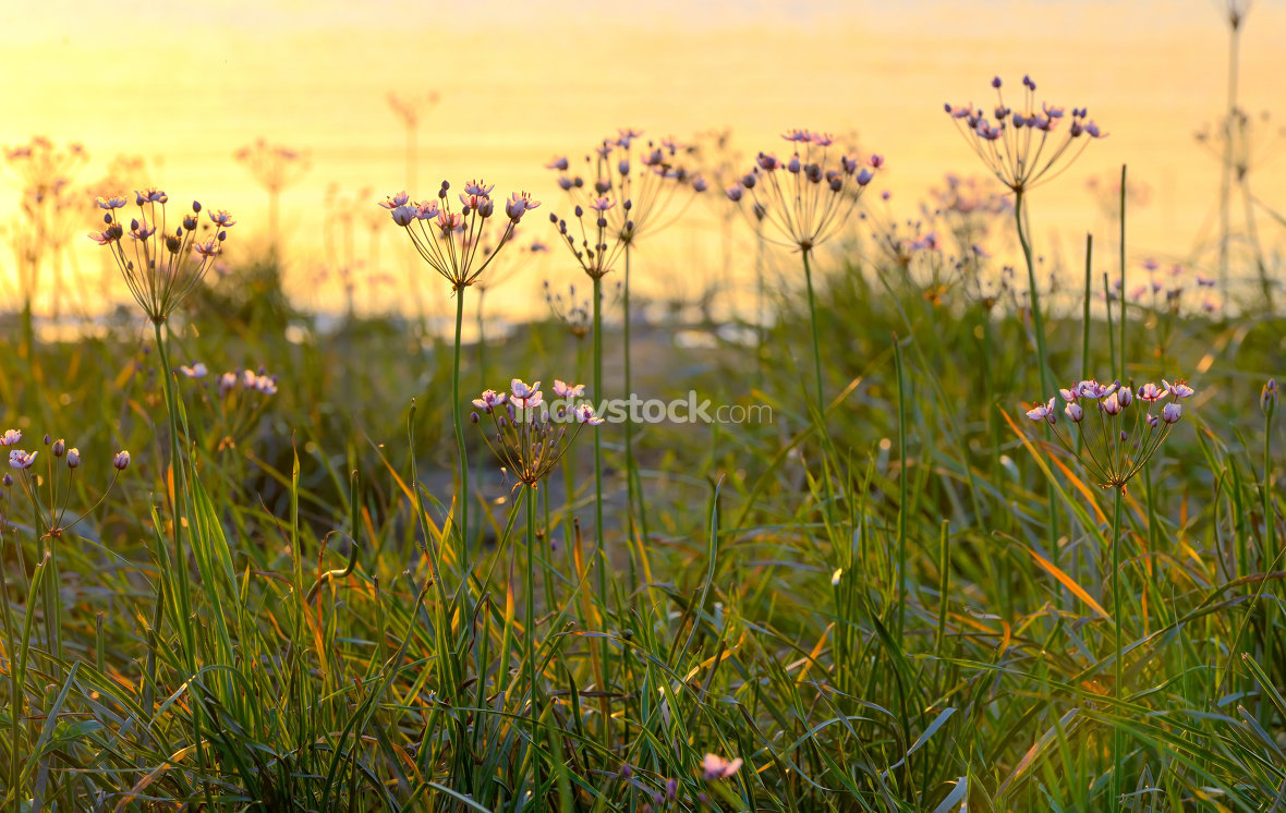 Flowering rush (Butomus umbellatus)