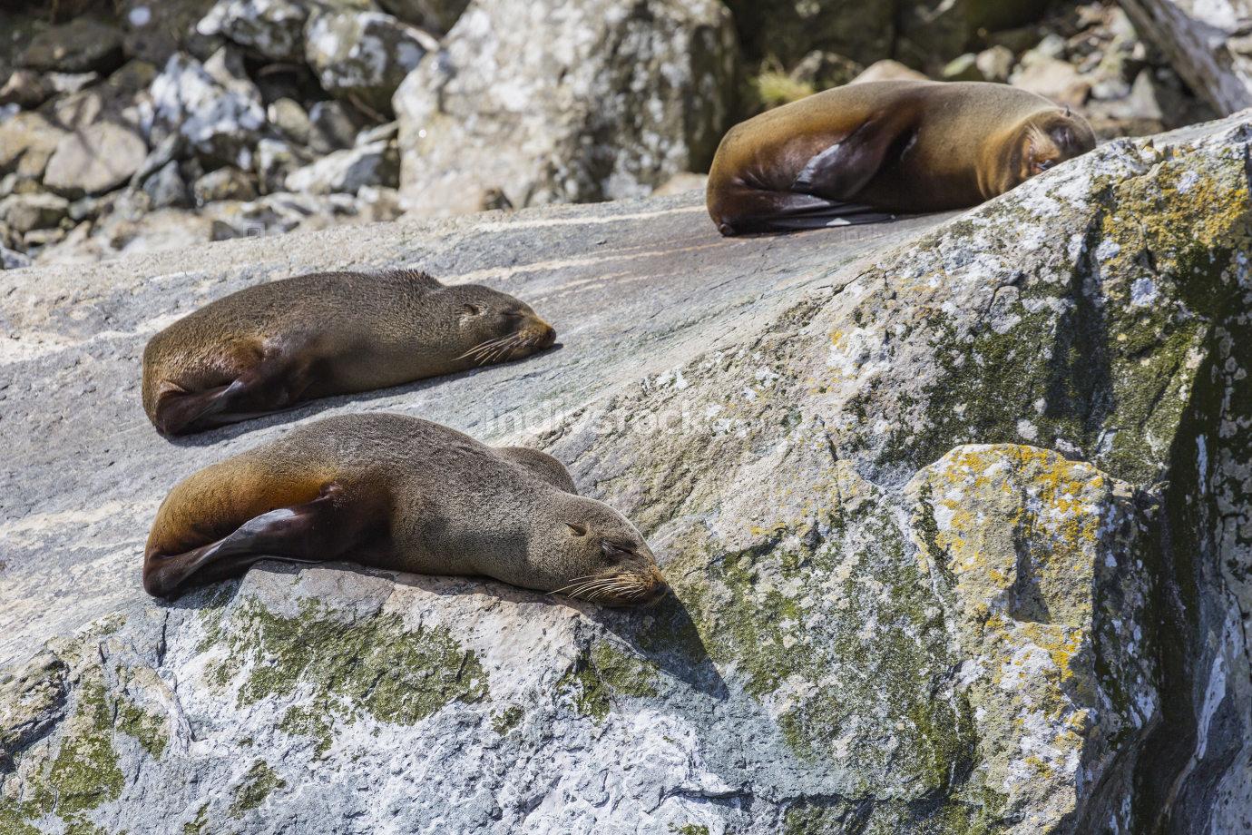 Fur seals (Arctocephalus forsteri) colony in Milford Sound, Fior