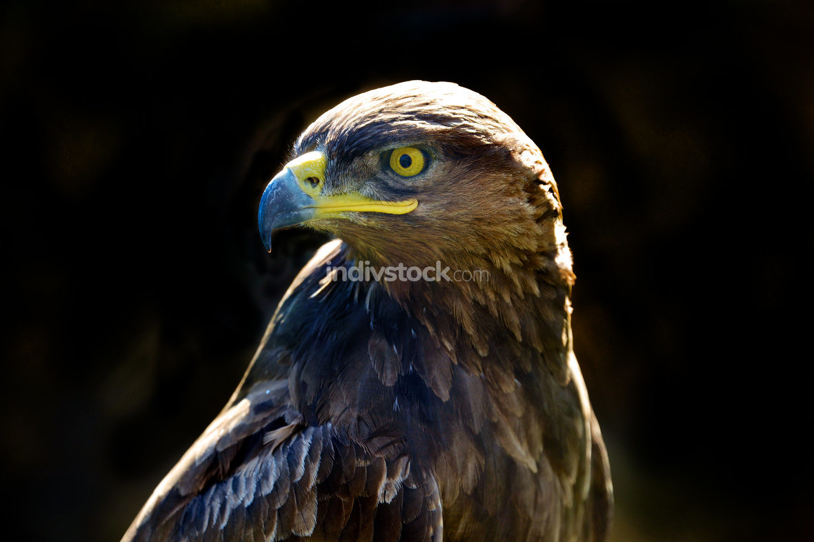 Golden eagle isolated on a dark background