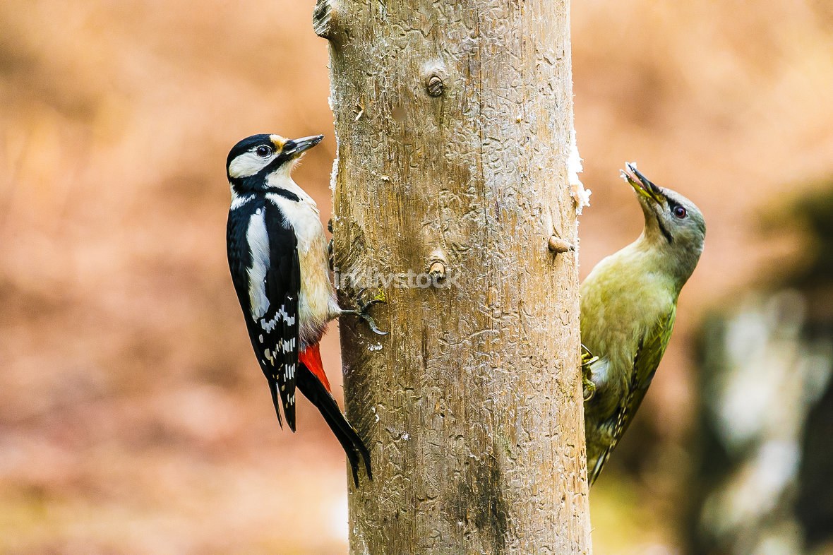 Great Spotted and gray-headed Woodpeckers in a spring forest