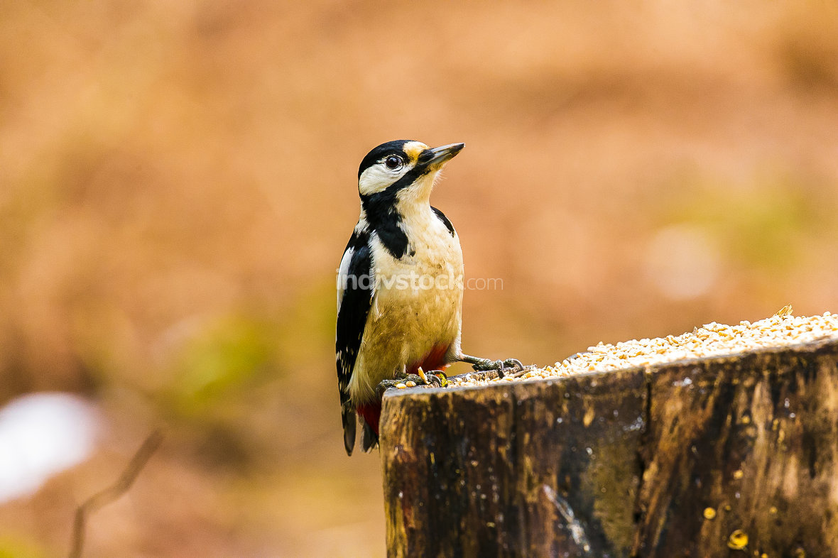 Great Spotted Woodpecker on a stump