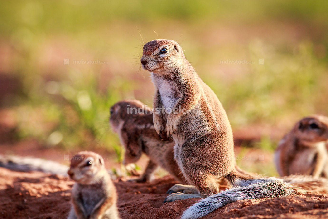 Ground squirrels in the sand.