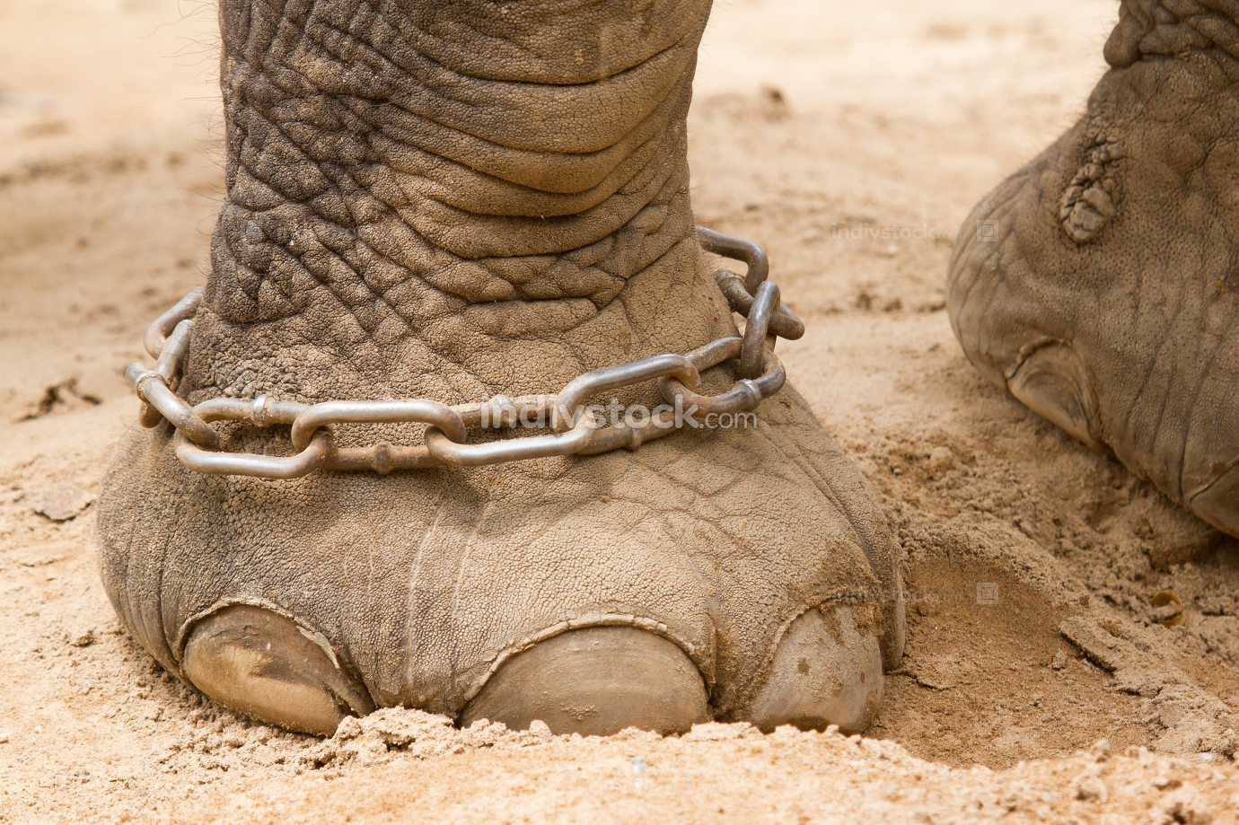 Hobbled foot of a working Indian Elephant