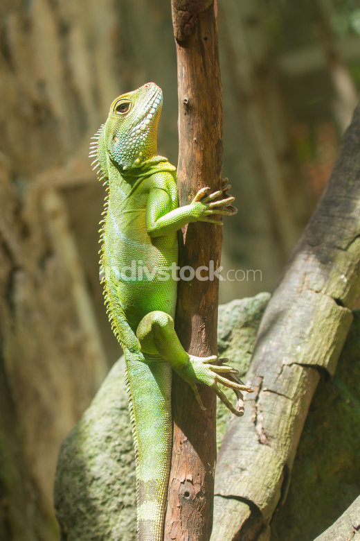 Iguana in a tree at a zoo in Vietnam