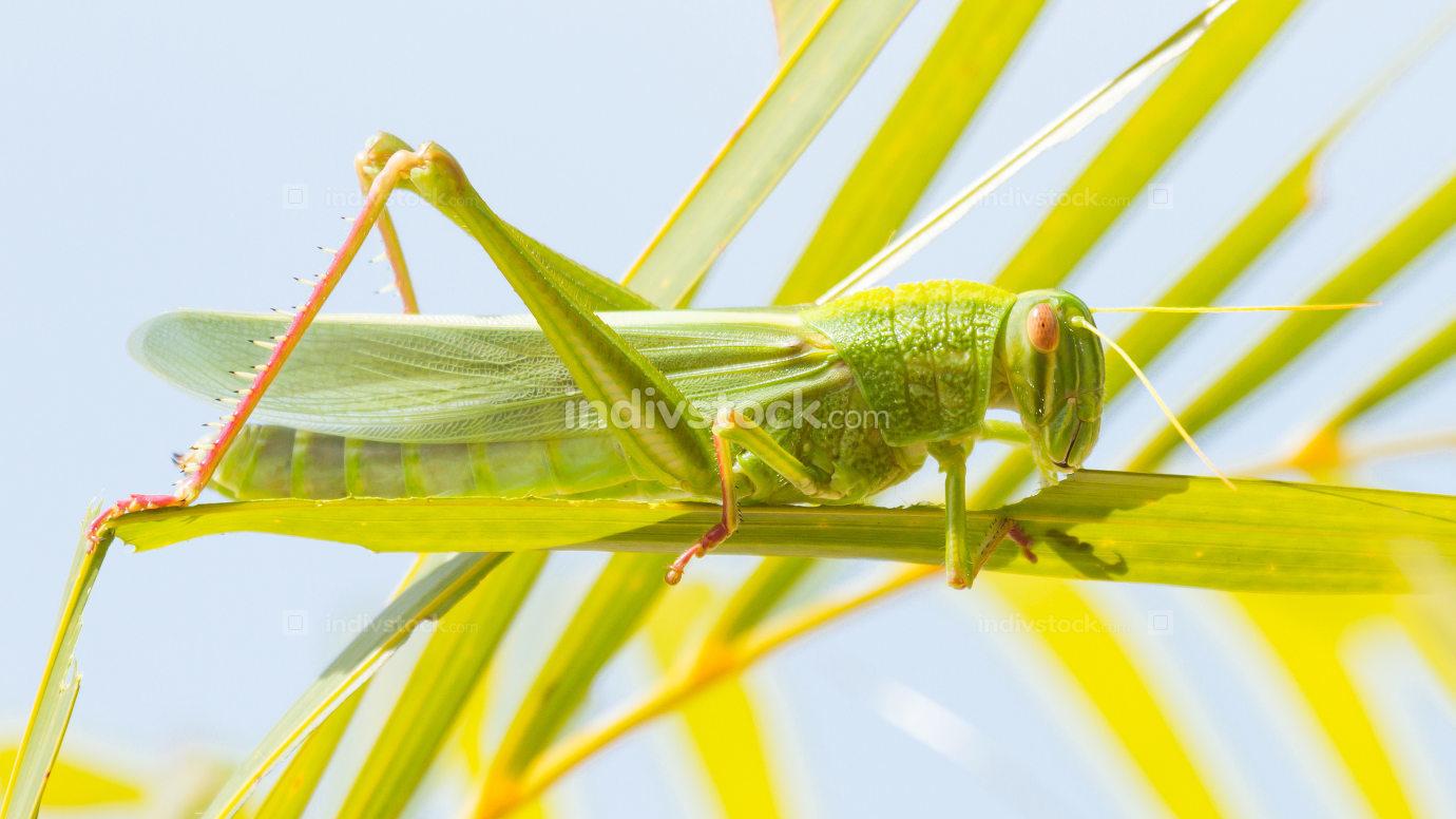 Large grasshopper, eating grass