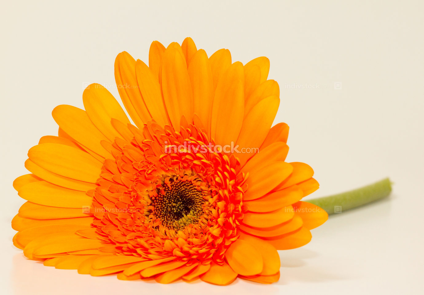 One single gerbera flower