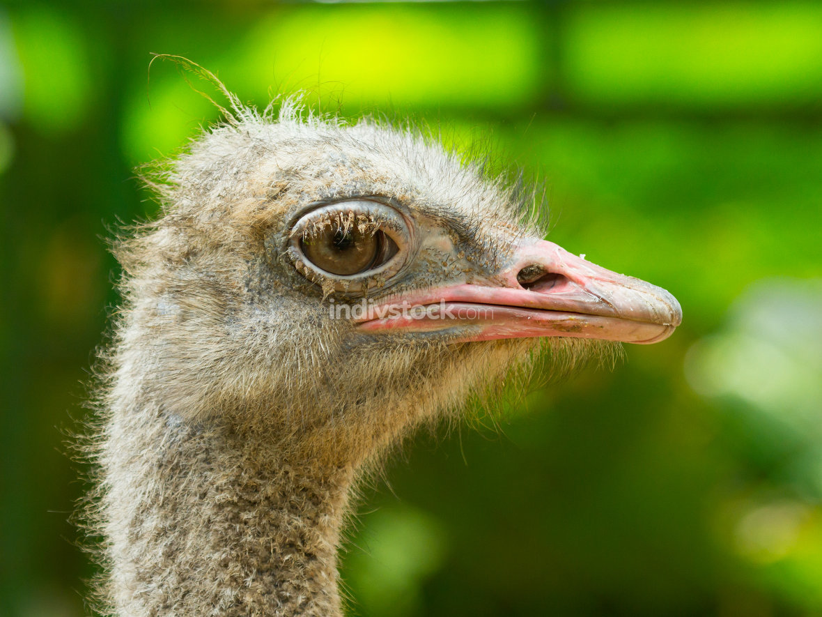 Ostrich standing in a zoo in Saigon