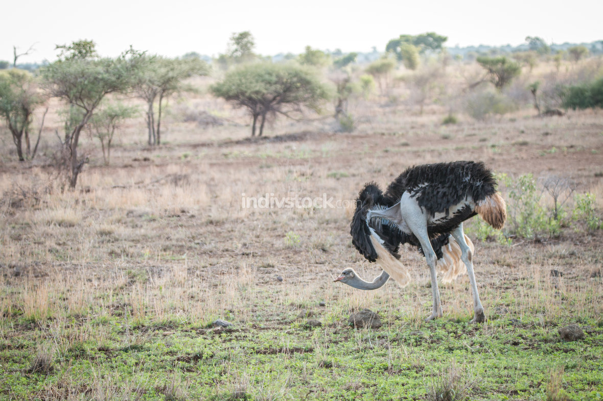 Ostrich walking in the bush