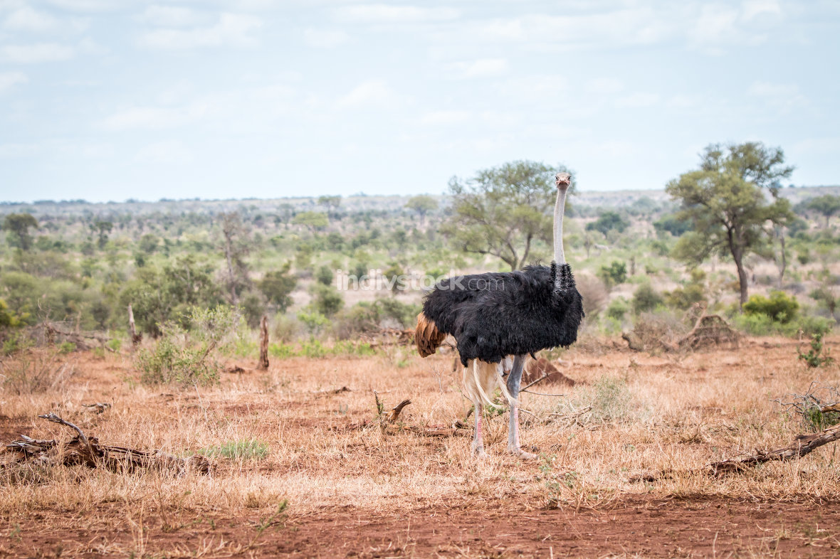 Ostrich walking in the bush.