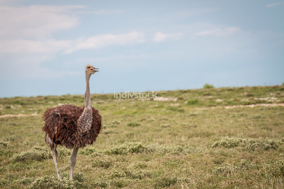 Ostrich walking in the grass.