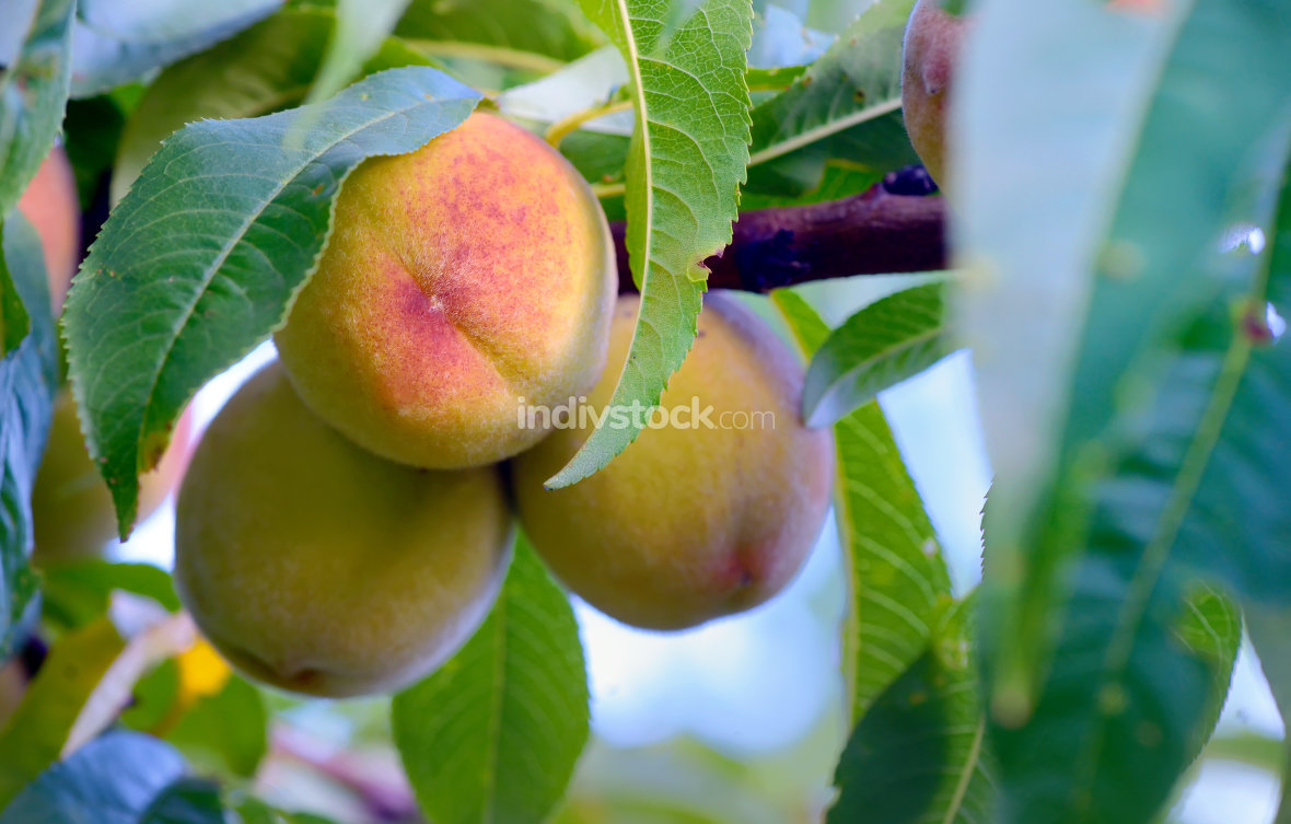 Ripe sweet peach fruits