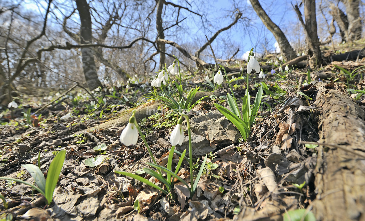 snowdrop flowers on field