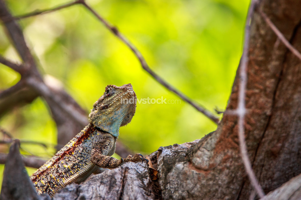 Southern Tree Agama in the tree.