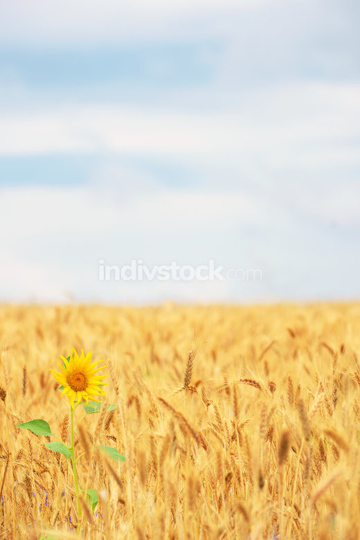 Sunflower in cereal field
