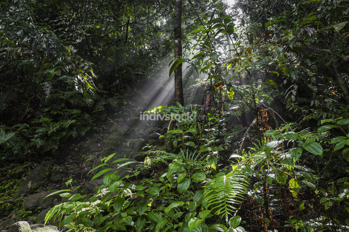 Sunlight rays leaves, rainforest Sinharaja Forest Reserve, Sri Lanka.