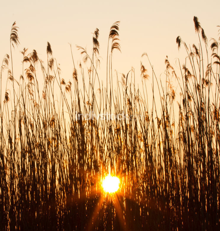 sunset in the reeds by a river in Holland