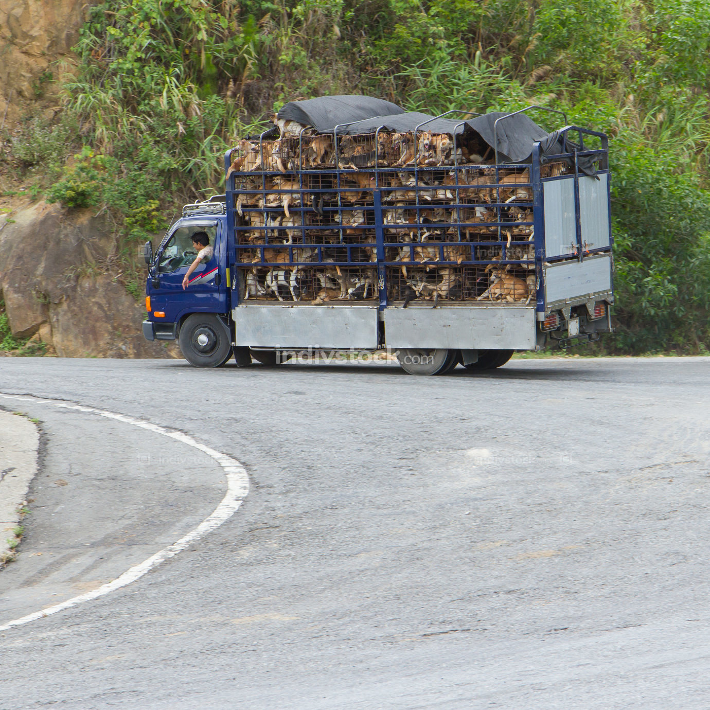 Trailer filled with live dogs destined for Vietnamese slaughterhouses