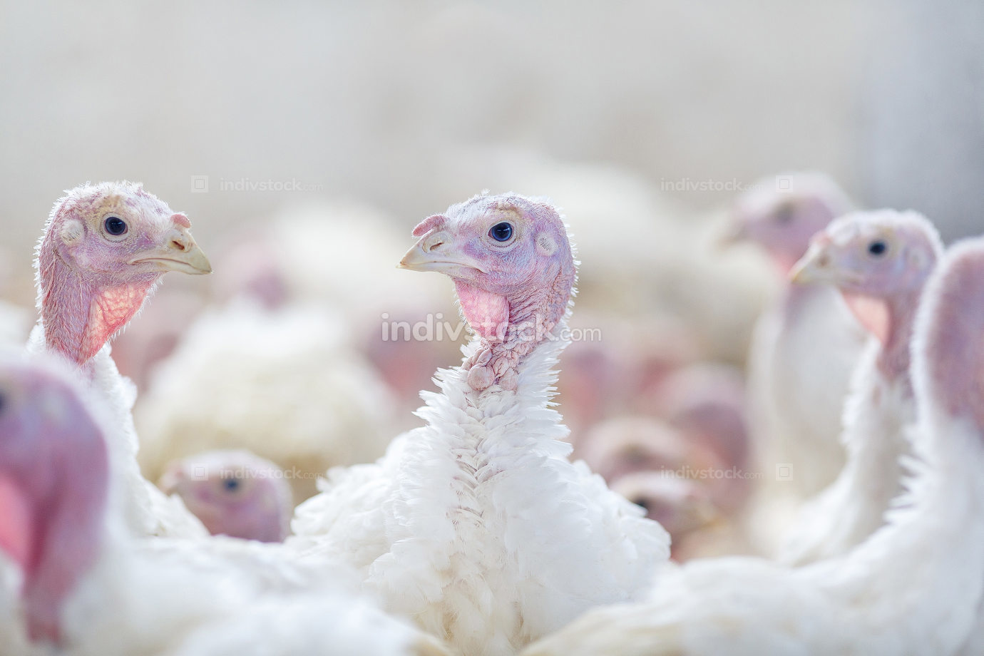 Turkey on a farm , breeding turkeys. Turkey isolated on the whit