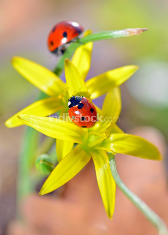 two red ladybugs