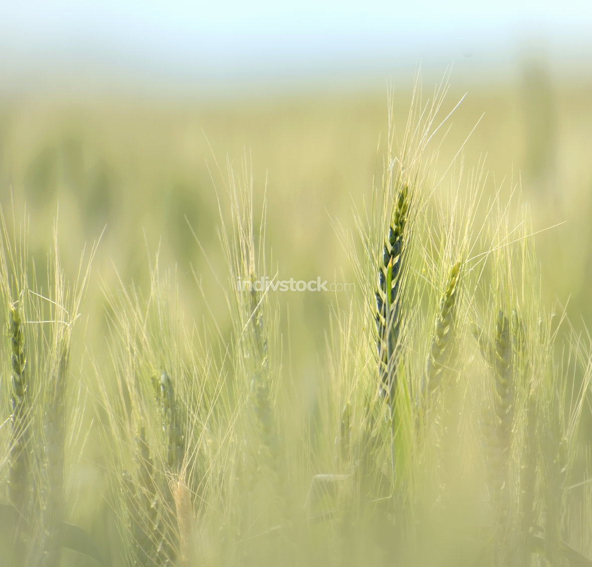 Wheat field in early summer