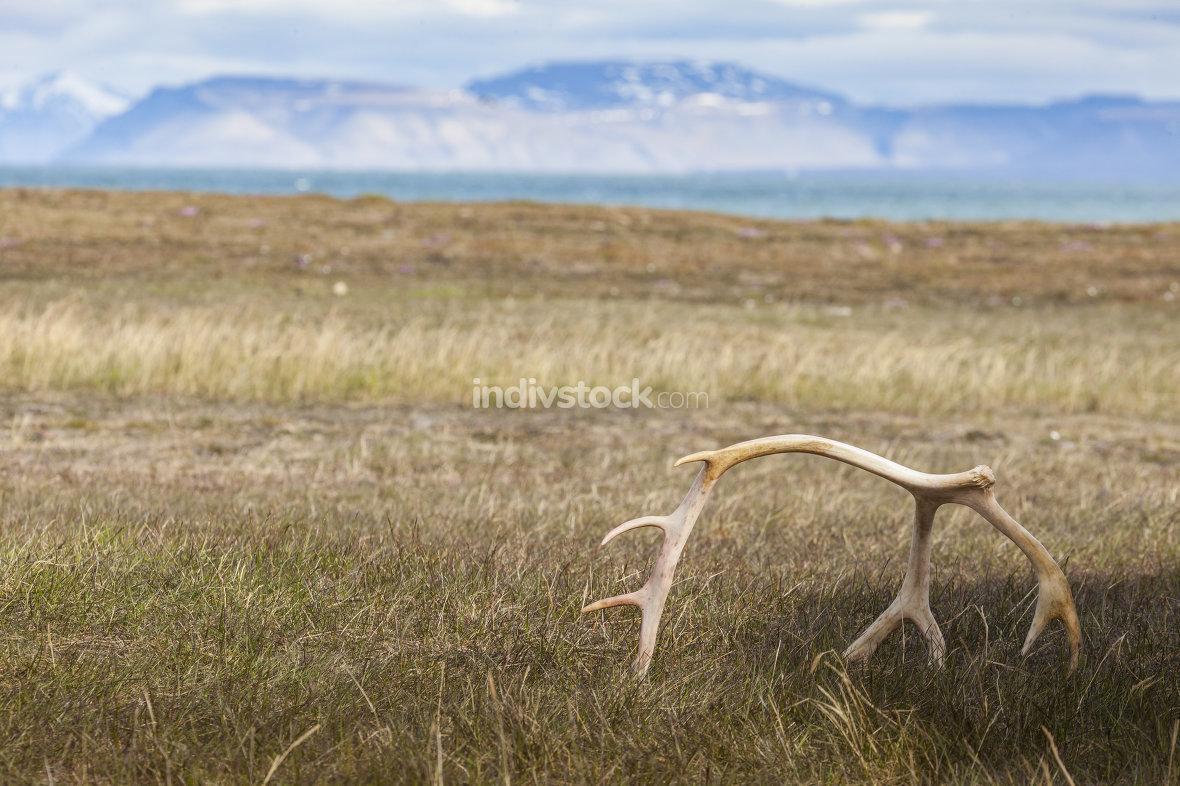 White sun bleached reindeer antlers on Barentsoya, Svalbard, Nor