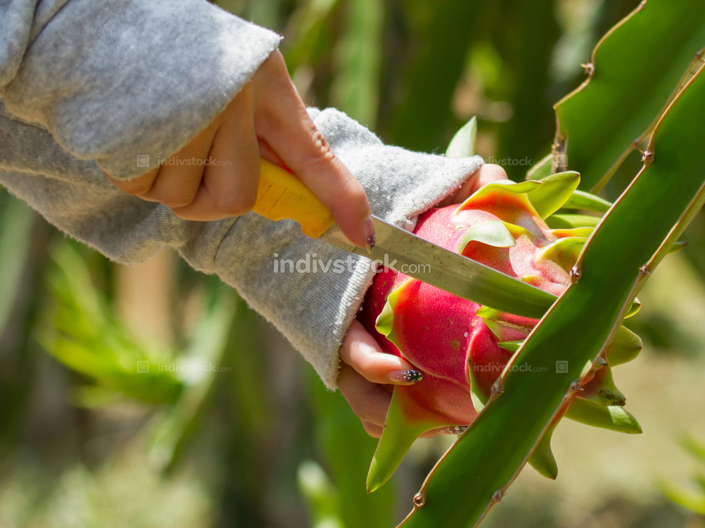 Woman harvesting a dragon fruit