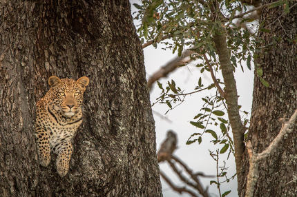 A female Leopard starring at the camera.