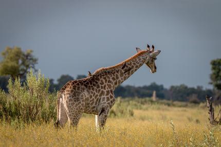 A Giraffe walking in the grass.