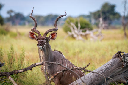 A male Kudu starring at the camera.