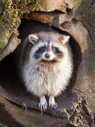 Adult raccoon at his nest, Leeuwarden, Holland