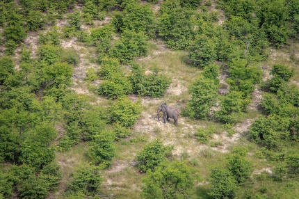 Aerial view of an Elephant walking in the grass.