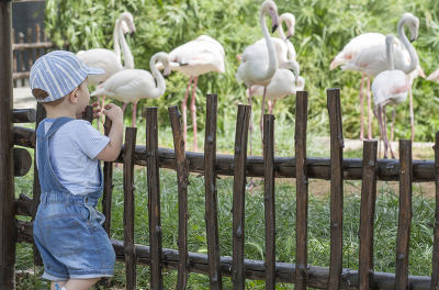 Baby boy looking Greater flamingoes in zoo