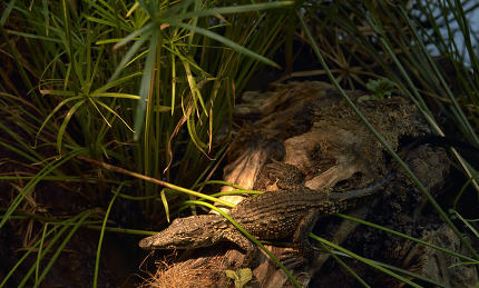 Baby crocodile resting