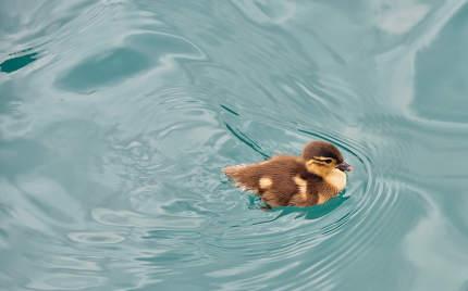 Baby duckling swimming 3d rendering