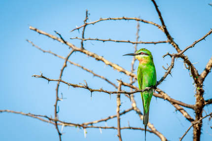 Blue-cheeked bee-eater on a branch.