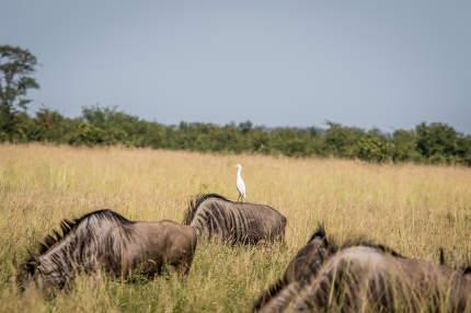 Cattle egret standing on a Blue wildebeest.