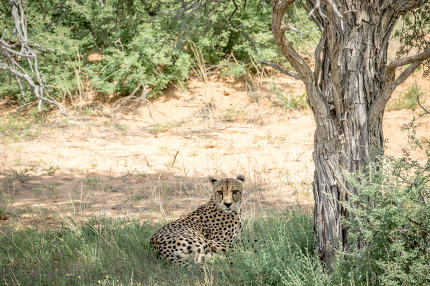 Cheetah laying in the grass under a tree.