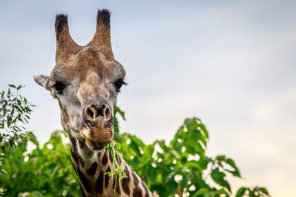 Close up of an eating Giraffe.